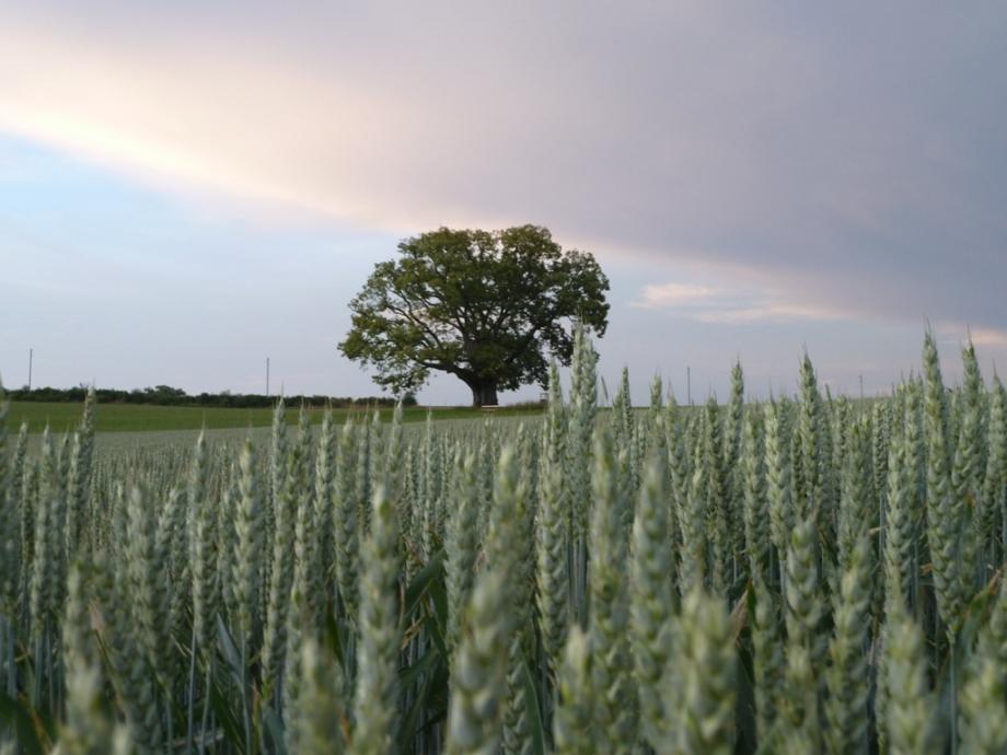 Weizen mit Linde